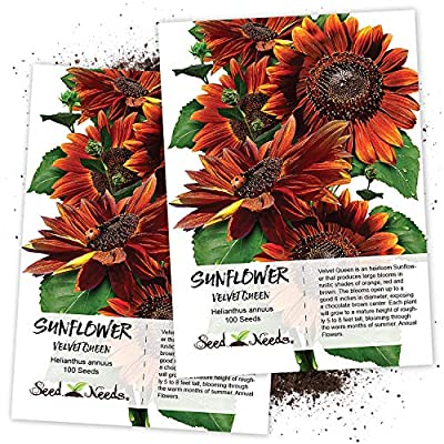 Package of 100 Seeds, Velvet Queen Sunflower (Helianthus annuus) Non-GMO Seeds By Seed Needs