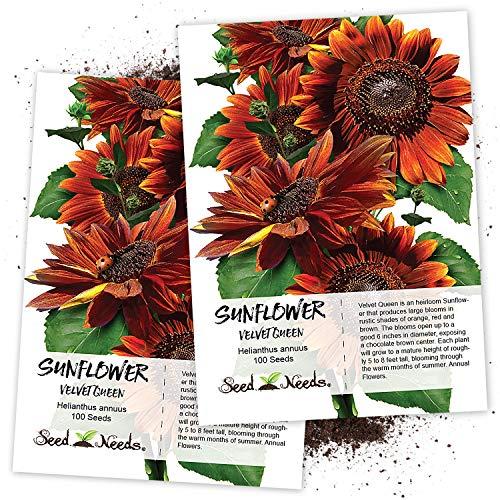 - Seed Needs, Velvet Queen Sunflower (Helianthus annuus) 100 Seeds Non-GMO