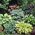 Hosta Mixed - 6 Perennial Bare Roots