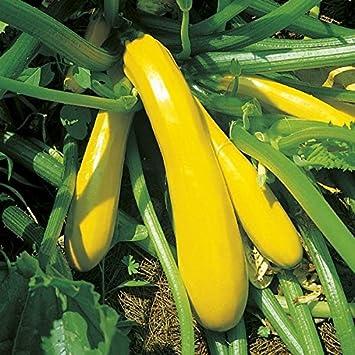 Courgette Plants Ambassador F1-3 Plants in 9cm Pots