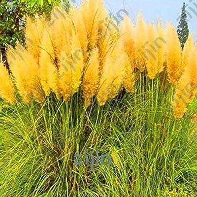 Kasuki Cheap 1000Pcs / Bag Colorful Pampas Grass Cortaderia Seed are Very Beautiful Garden Plants Decorative DIY - (Color: Burgundy) : Garden & Outdoor