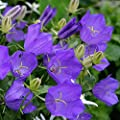 Flower Seeds Carpathian Harebell Blue (Campanula carpatica) Tussock Bellflowers