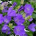 Flower Seeds Carpathian Harebell Blue (Campanula carpatica) Tussock Bellflowers