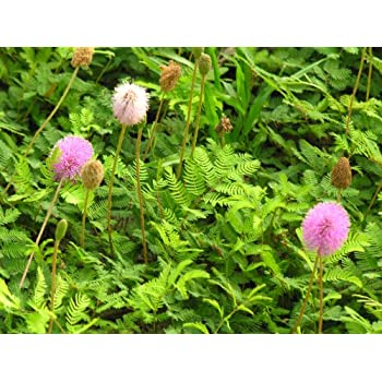 amazon com package of 100 seeds sensitive plant compact growth