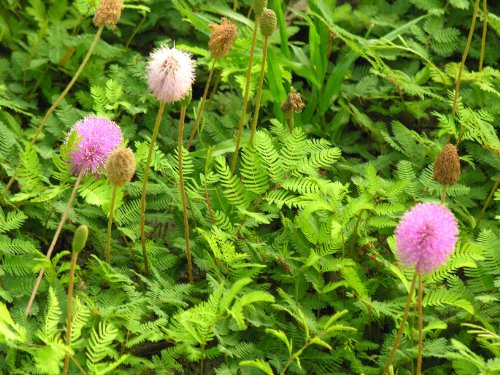 (Unusual Flowering Ground Cover Sunshine Mimosa Sensitive Plant)