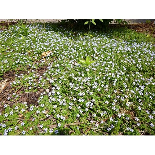 24 ISOTOMA BLUE STAR CREEPER Live Plants Groundcover Plant Non-GMO Healthy Strong Root - 24 LIVE PLANTS - w FREE GIFT per request - From Bellacia Garden