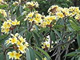Yellow Hawaiian Plumeria Cutting - Apx. 9 - 12 inches long #C1