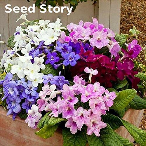 200 Pcs Italy Cape Primrose Seeds Imported China Rare Primula Sementes Seeds Bonsai Flower Seeds For Garden Pot Planters