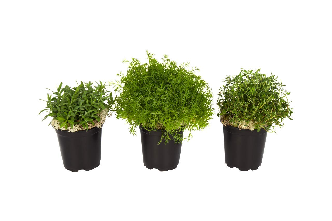 The Three Company Sleep Aid Live Aromatic Herb Combo (Lavender, Chamomile, Thyme), 4.5'' Pot, Restful Night