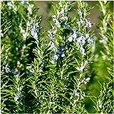 Seed Needs, Rosemary Culinary Herb