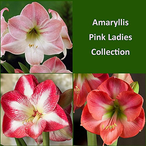 Nianyan Pink Amaryllis Pink Ladies Mix Collection - 3 Premium Amaryllis Bulbs Mixed Colors & Varieties - Outstanding Indoor Blooms!18/20CM