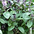 Licorice Basil 'Anise', Persian Basil (1000 Seed) High Quality, Untreated Seed.