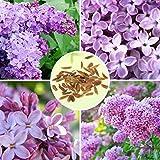 30pcs Purple Fragrant Lilac Shrub Seeds Vulgaris Syringa Flowers Seed