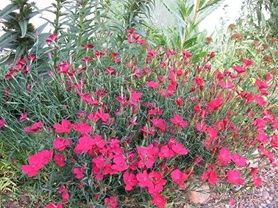 40+ Zing Rose Dianthus Flower Seeds / Perennial