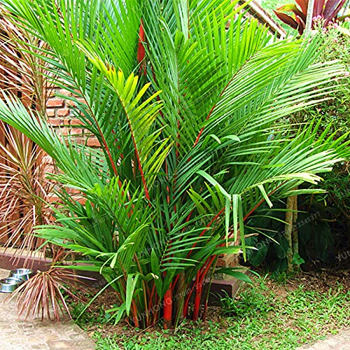 (Kasuki 10 Pcs/Bag Lipstick Palm Cyrtostachys Renda Tree Bonsai Red Sealing Wax Palm Bonsa Pot Plant for Home Garden Flower Garden Plant)