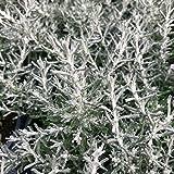 Helichrysum italicum, Dwarf Curry - Live Plant +! (single)