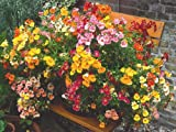 50 CARNIVAL MIX NEMESIA Strumosa Flower Seeds Mixed Colors *Comb S/H