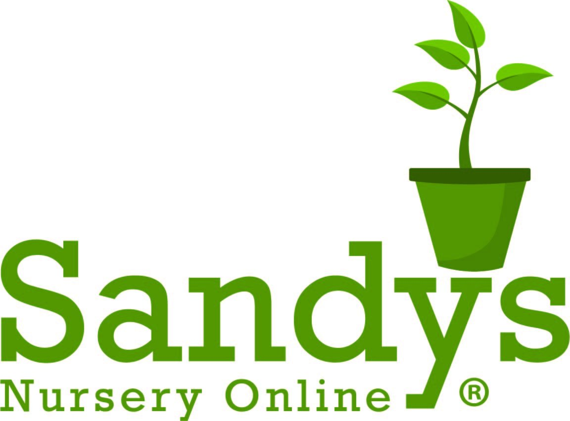Sandys Nursery Online Juniper 'Skyrocket' Shrub/Evergreen Fast Grower! 4 inch pot ~Lot of 30~ by Sandys Nursery Online