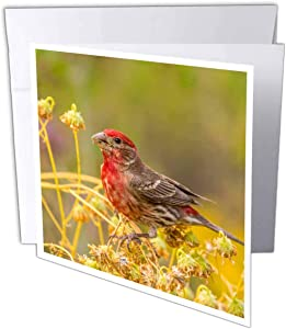 3dRose USA, Arizona, Desert Garden. Male House Finch Feeding on Seeds - Greeting Cards (gc_331017_2)
