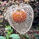 Japanese Lantern Seeds (Physalis alkekengi franchetii) 20+ Rare Seeds + FREE Bonus 6 Variety Seed Pack - a $29.95 Value! Packed in FROZEN SEED CAPSULES for Growing Seeds Now or Saving Seeds for Years