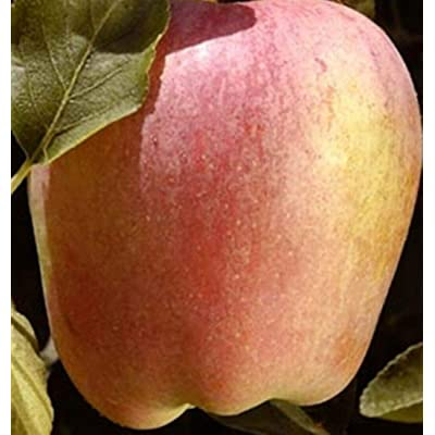 Apple Anna Low-Chill Fruit Tree Dwarf Semi-Dwarf Standard 2-4 ft : Garden & Outdoor