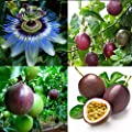 Cicitar Garden - Scented Rare Passiflora Climbing Plant Edible Fruits, Exotic Passion Fruit Passion Flower Seeds Hardy Perennial