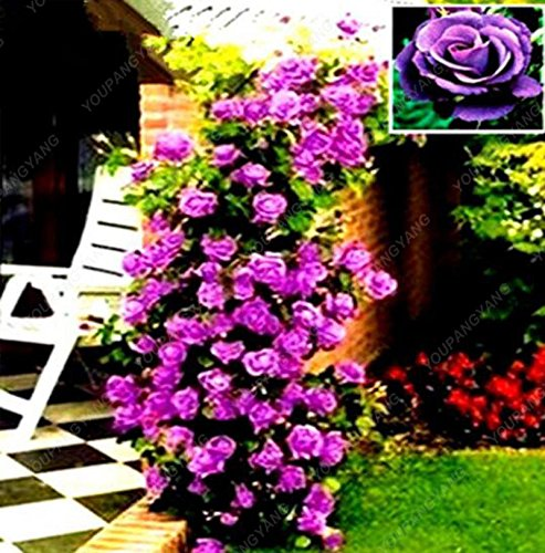 100 Seeds/Pack Red Rose Tree Seeds Heirloom Large Climbing Plant Perennial Rosa Rugosa Fragrant Flowers Home Garden Plants Black