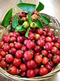 *SHOWY*FRAGRANT* STRAWBERRY GUAVA *15 seeds*RARE #1032