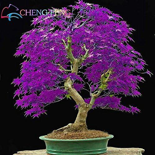 Mini beau violet Graines japonais Bonsai Maple, graines de bricolage arbre plante bonsaï arbuste, graines d'érable frais 50pcs