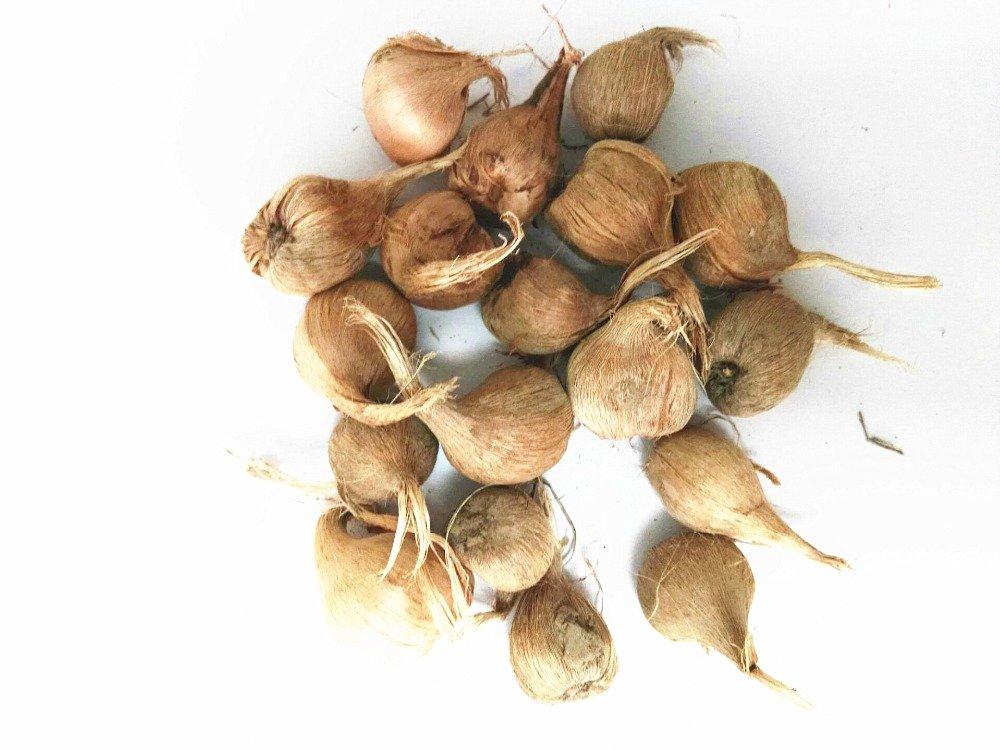 Les vrais bulbes de crocus safran, iran safran, (semences non safran), bulbes de fleurs, Happy Joy Fleurs, bonsaï plantes en pot pour la maison jardin-2bulbs SVI
