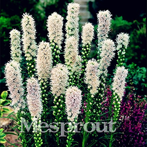 100 Seeds Snakeroot Seeds Bonsai Plant Liatris Spicata Perennial Native wildflowers 3#32711834284ST