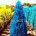 50 Pcs Italian Rare Dark Blue Cypress Tree Bonsai Indoor Outdoor Desk Ornamental Plants,Rare Christmas Tree Perennial Flower Pot