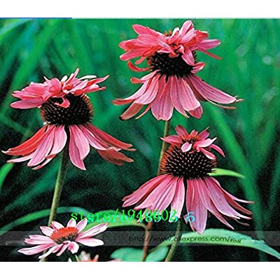 Hot Selling! Rare Echinacea Purpurea 'Double Decker' Perennial Coneflower Seeds, Professional Pack, 50 Seeds / Pack, Hardy Cottage Gardens : Garden & Outdoor