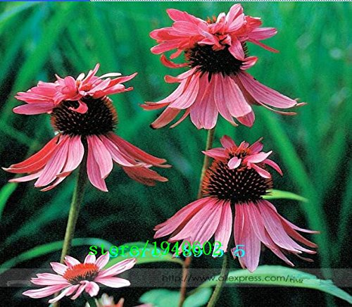 Hot Selling! Rare Echinacea Purpurea