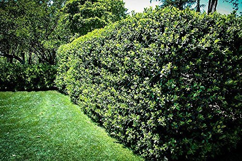 Nellie R. Stevens Holly - 20 Live Plants - Evergreen Privacy Trees by Florida Foliage (Image #5)
