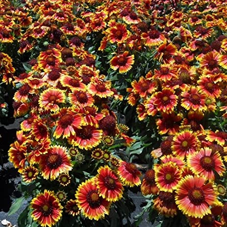 Amazon 3 perennial bareroot plants of gaillardia aristata 3 perennial bareroot plants of gaillardia aristata arizona sun blanket flower masses mightylinksfo