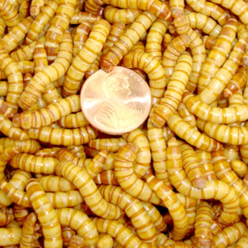 500ct Live Giant Mealworms, Reptile, Birds, Best Bait by Gimminy Crickets & Worms