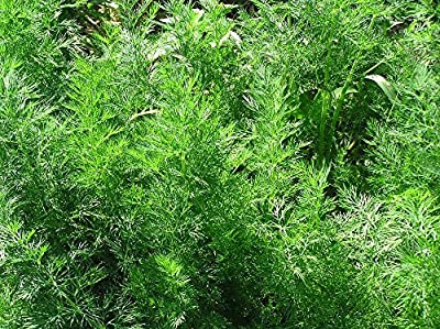 100+ ORGANICALLY GROWN Dwarf Dill Ella Seeds Heirloom NON-GMO RARE Sweet and Aromatic, Compact, Great For Container, Fragrant! From USA