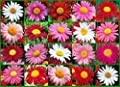 1000 Painted Daisy Seeds Perennial Cut-flowers Pink Red Mid-summer Mix