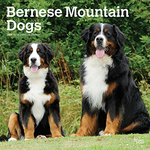 Bernese Mountain Dogs 2019 12 x 12 Inch Monthly Square Wall Calendar, Animals Dog Breeds (Multilingual Edition) ()