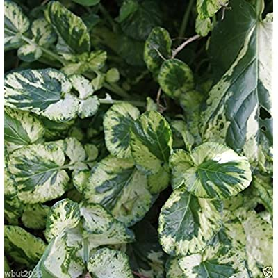 BARBAREA vulgaris 'Variegata' Land Cress,[Winter Cream] Winter Hard, salad Green(100 gram Pack Seeds): Kitchen & Dining