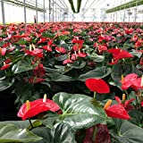 Crisp Plants Live Red Anthurium Plant in Metallic