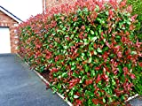 10 Photinia Red Robin Hedging Plants 25-40cmHealthy Evergreen shrubs by Sunnyside Nurseries