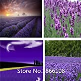 home & garden 200 French Provence Lavender Seeds -- Very Fragrant