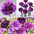 Wintefei 100Pcs Purple Carnation Dianthus Caryophyllus Flower Seeds Home Garden Decor
