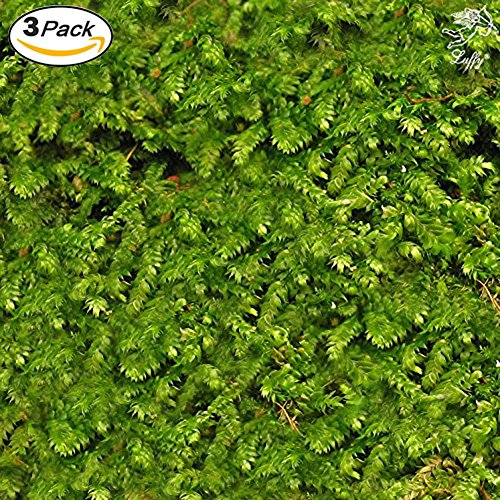 Luffy Wild Christmas Moss in Loose Form by Lush, Green Moss for Aquarium Decor – Create a Moss Wall or Moss Carpet – Soft and Comforting for Fish – Shrimp's & Fry's Food source