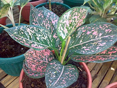 Evergreen Chinese Plant (Pink Dalmatian Chinese Evergreen, 6