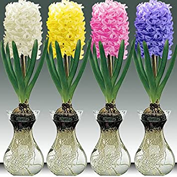 Yellow Queen Hyacinth Bulb And Glass Vase For Forcing Amazon
