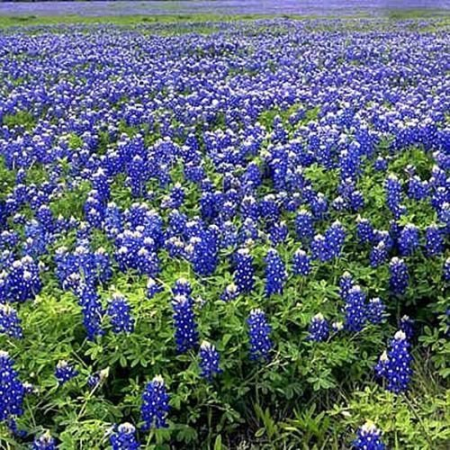 Texas Bluebonnets - Approximately 100 Seeds .1 Oz - Texas State Flower