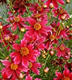 (PCORE)~LIMEROCK RUBY COREOPSIS~Seed!!!~Vivid Little Tickseed!